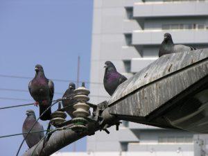 鳩を撃退したい!実はアブない鳩の種類は?被害の予防対策リスト