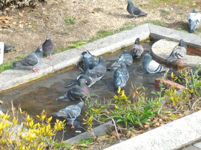 鳩の菌は恐ろしい!感染を予防するために覚えておきたい基礎知識