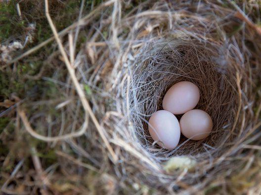 鳩が産卵しても、その卵…勝手に処分はしないで!