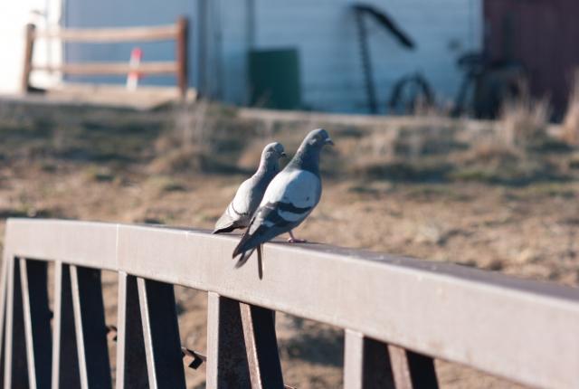 鳩が来るには理由がある!鳩に住処にされたら……正しい駆除をしよう